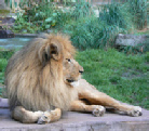 A photo of a lion at the San Francisco Zoo, taken by the artist